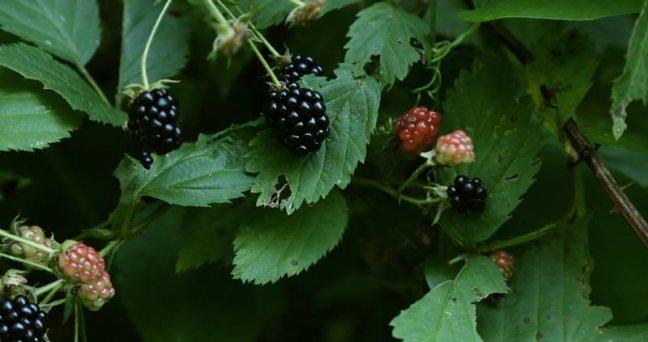 Berry-w