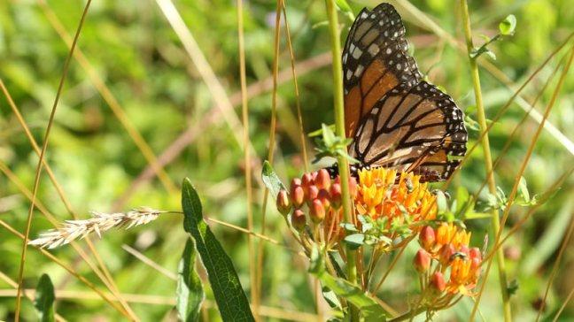 Butterfly-w